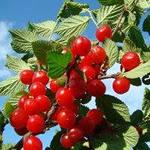 Использование вишни для полезащитных насаждений