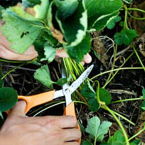 Скашивание листьев земляники
