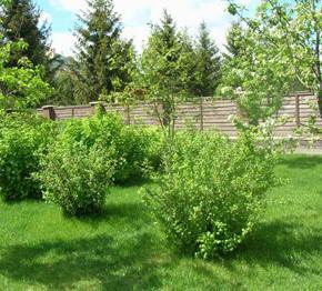 Зачем мульчировать приствольные круги плодовых деревьев?