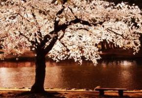 Сакура-самая красивая вишня