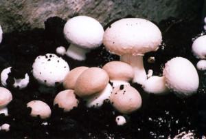Субстраты для культивирования шампиньона