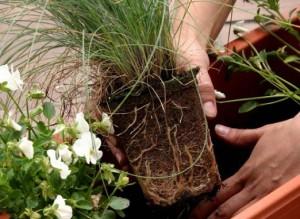 О пересадки комнатных растений
