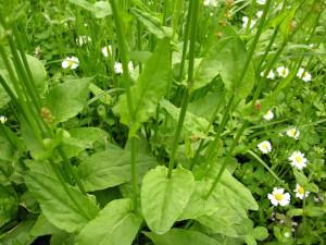 Выращивание шпинатного щавля