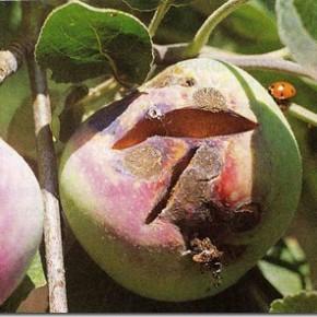 В чём заключается правильный уход за плодовыми деревьями?