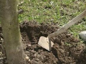 Удобрение для плодовых деревьев лучше вносить  непосредственно к корням