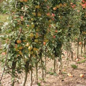 Как правильно провести подкормку плодовых деревьев?