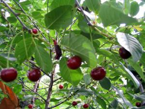 Степная вишня
