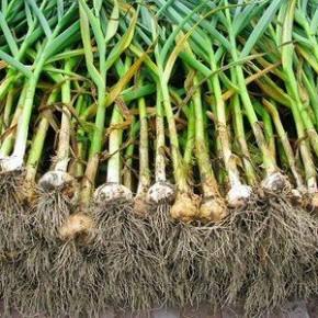Как сажать озимый чеснок:советы огородникам