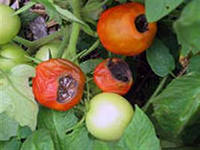 Как отражается нехватка меди на томатах?