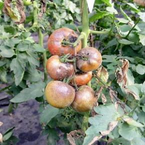 Как отражается на помидорах нехватка кальция ?