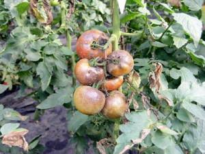 нехватка калия на помидорах
