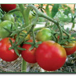 Как реагируют томаты на нехватку молибдена