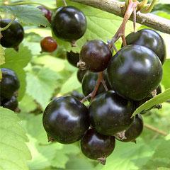Нужно ли поливать саженцы смородины при посадке?