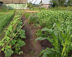 сажать после томатов и картофеля