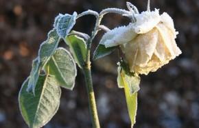 Когда нужно снимать покровный материал с роз?