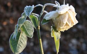 розы устойчивы к морозам
