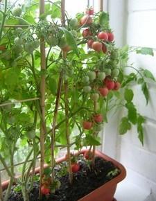 Нехватка серы в грунте:как отражается на помидорах