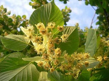 Рядом с какими деревьями может расти липа?