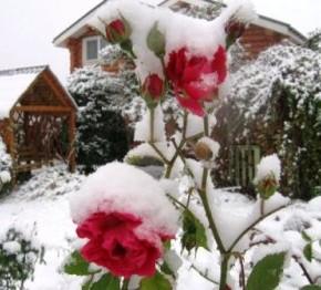 Какие розы устойчивы к болезням?