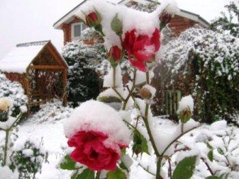 подготовить розы к зиме