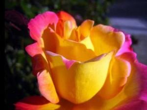 правильно удобрять розы
