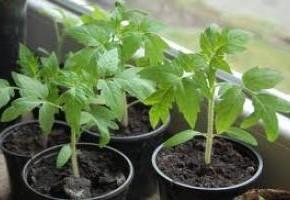 Как проявляется нехватка калия на помидорах?