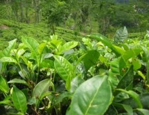 Как отличить  поддельные чаи от подлинных ?