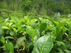 Происхождение и распространение чая