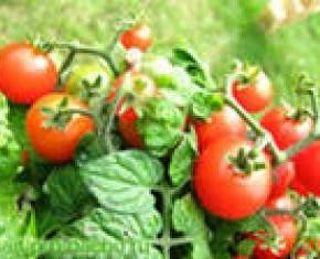 Почему опадают цветочные почки на томатах?