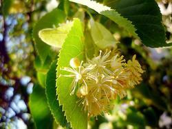 Когда цветёт липа:особенности цветения дерева