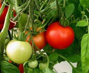 Как реагируют томаты на нехватку цинка в почве