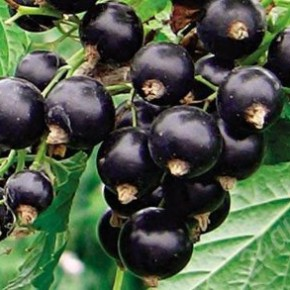 Как на дачном участке вырастить витамин С ?