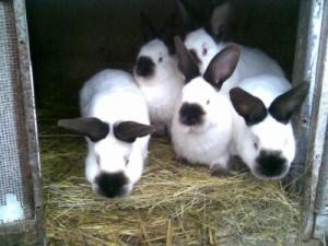 Какие кролики быстро набирают вес