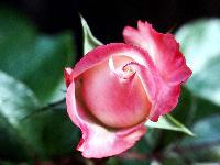 нужно сажать розы