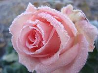 Как сажать черенки вьющихся роз?