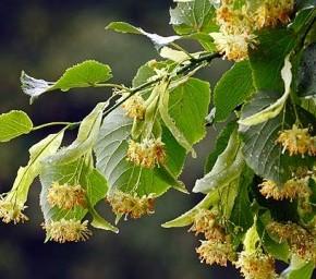 Можно ли продлить цветение липы?