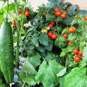 Советы огородникам:система чередования огородных культур
