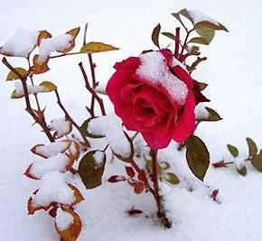 Какие розы устойчивы к морозам ?
