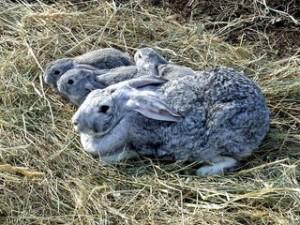 Когда делать кроликам первые прививки