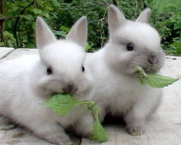 Как выбрать крольчих для размножения