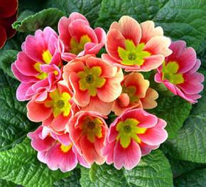 Примулы:характеристика многолетнего растения