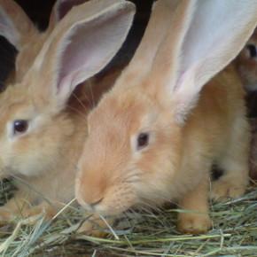 Какие кролики наиболее устойчивы к болезням?
