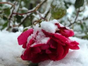 розы укрывать лапником