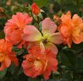 высаживать в цветник осенью
