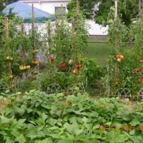 После бобов, гороха, лука и чеснока можно сажать все культуры