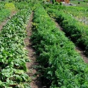 Советы огородникам:нельзя сажать лук возле фасоли