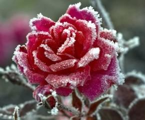 Цветы зимой:как утеплить розы?