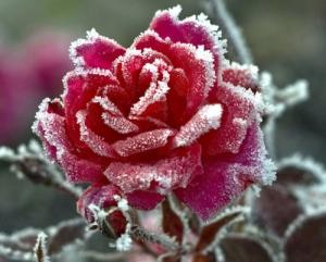 подготовить розы к морозам