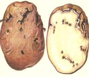 Картофельная моль съест весь урожай