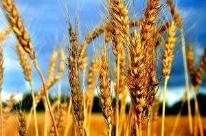 зерновых колосовых культур